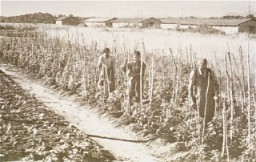 <p>Vegetable gardens administered by the American Friends Service Committee as part of a Quaker relief effort for prisoners at the Gurs camp. Gurs, France, ca. 1943.</p>